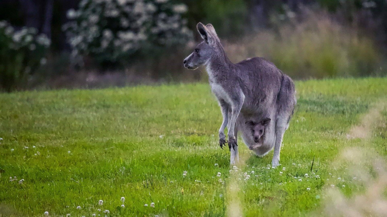 kangaroo and joey on the pouch